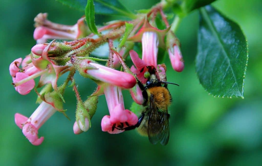 Bourdon sur une fleur d'Escallonia / Un jardin dans le Marais poitevin.