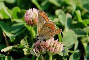 Azuré commun, femelle / Un jardin dans le Marais poitevin.