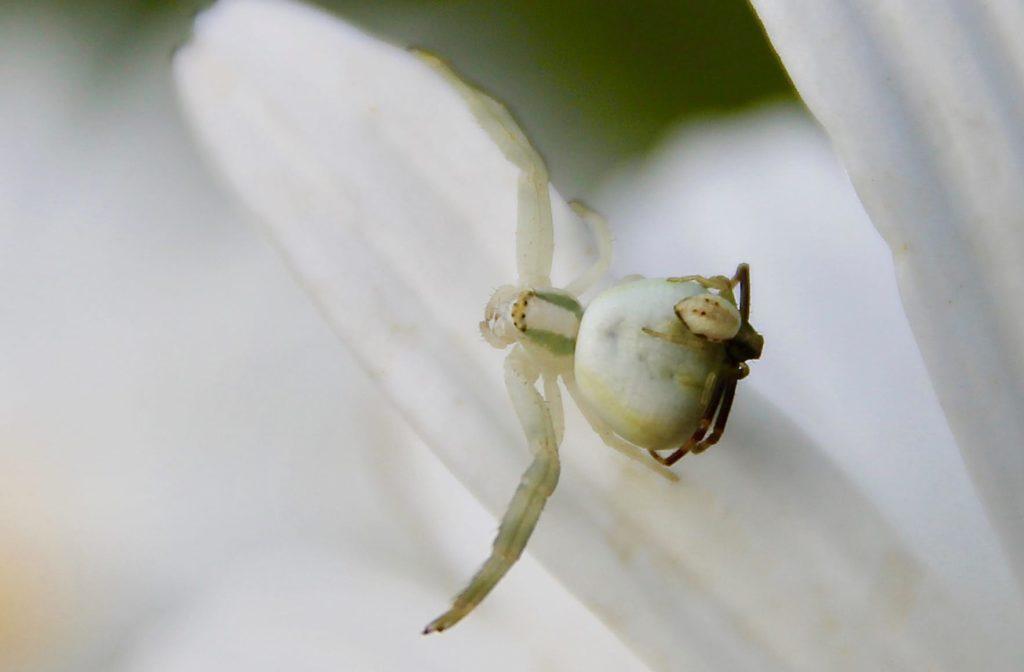 Thomises variables, femelle et mâle / Un jardin dans le Marais poitevin.