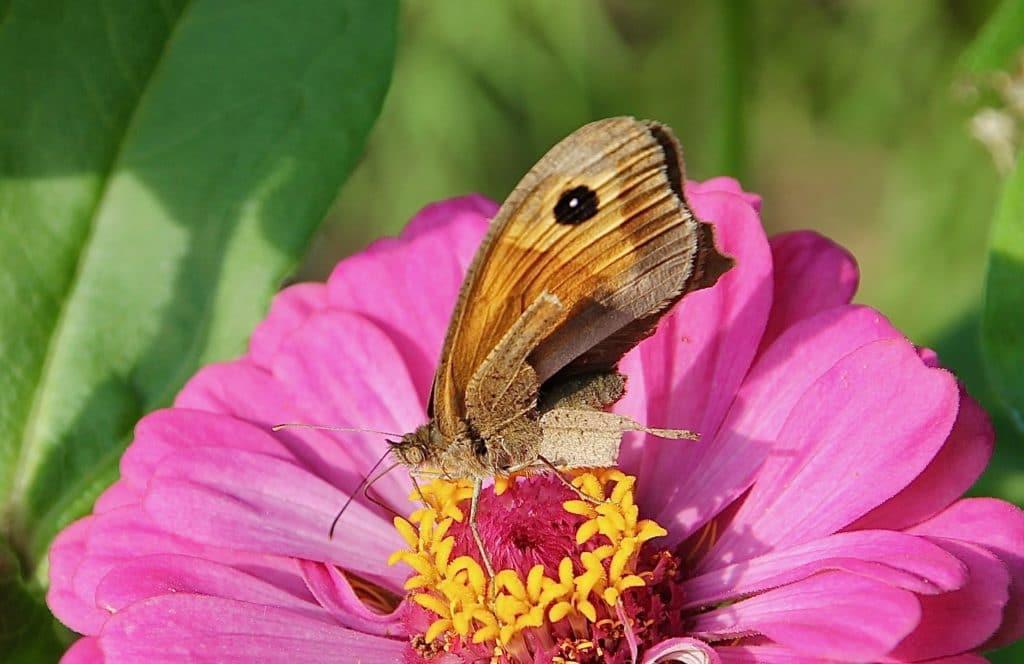 Myrtil rescapé d'un prédateur sur fleur de zinnia / Un jardin dans le Marais poitevin.