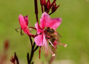 Abeille puisant le nectar d'une fleur de Gaura / Un jardin dans le Marais poitevin.