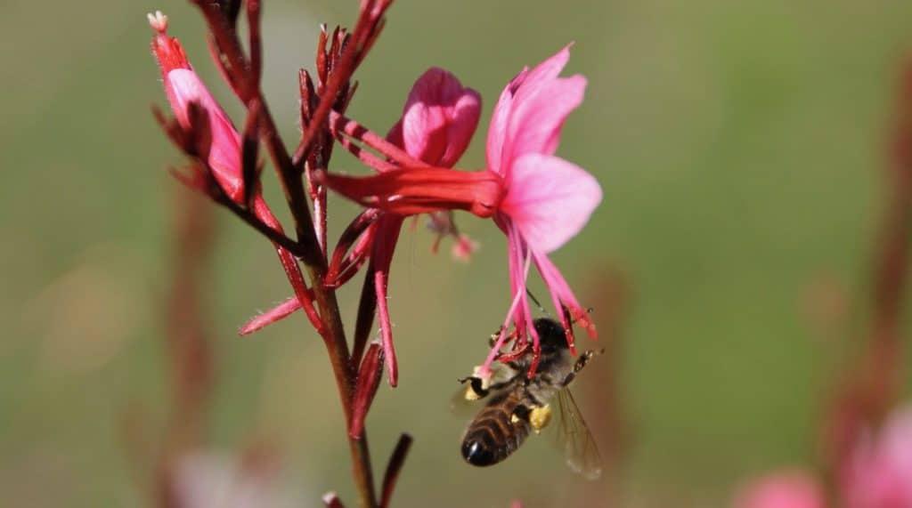 Abeille collectant le pollen d'un fleur de Gaura / Un jardin dans le Marais poitevin.