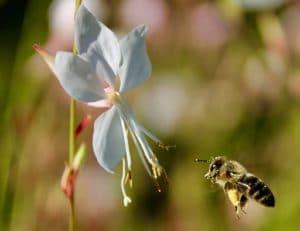 Abeille à l'approche d'une fleur de Gaura / Un jardin dans le Marais poitevin.