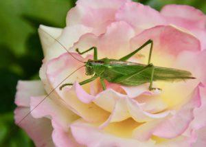Grande sauterelle verte / Un jardin dans le Marais poitevin.
