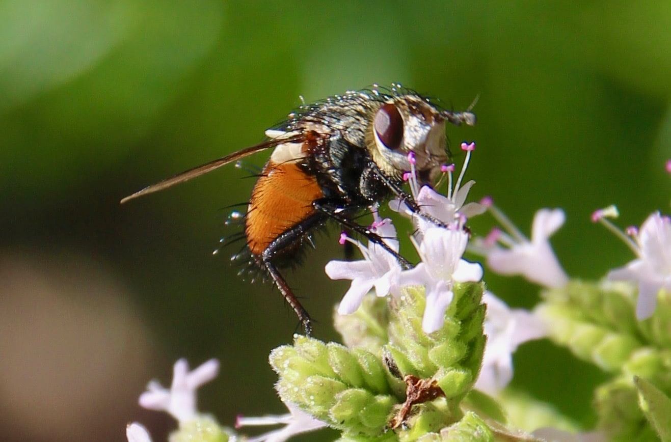 Mouche peleteria rubescens sur fleur d'origan.