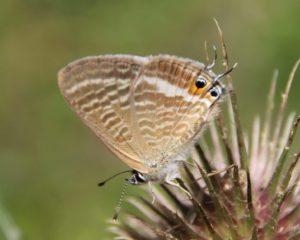 Azuré porte-queue sur inflorescence de cardère.