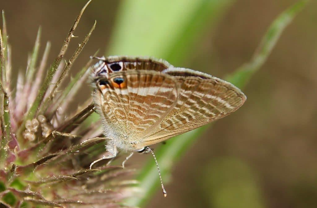 Azuré porte-queue, femelle, sur inflorescence de cardère.