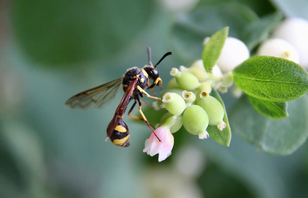 Guêpe potière (Eunemes poniformis) sur fleurs de Symphorine.
