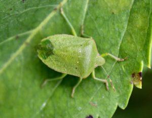 Punaise verte ponctuée : la pointe des ailes membraneuses est d'un vert soutenu.