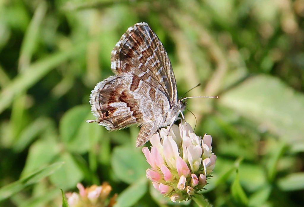 Brun des pélargoniums sur fleurs de trèfle blanc.