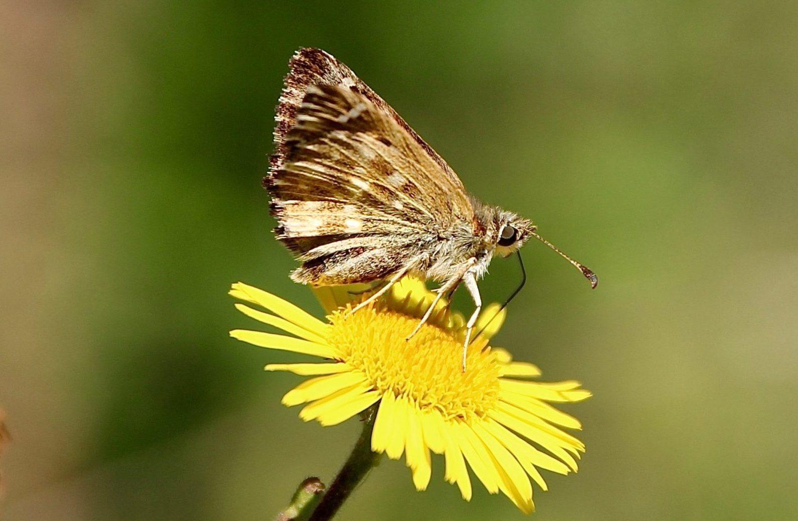 Papillon sur Pulicaire.