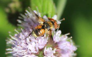 Phasie crassipenne, femelle, sur fleur de Menthe des champs / Un jardin dans le Marais poitevin.