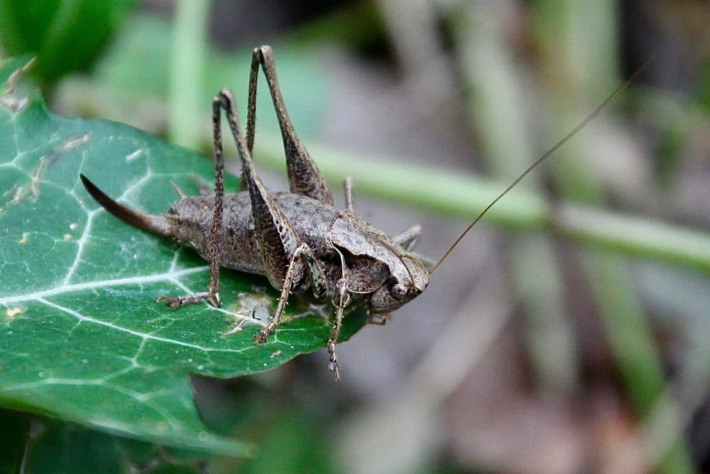 Docticelle cendrée, femelle, sur feuille de lierre.