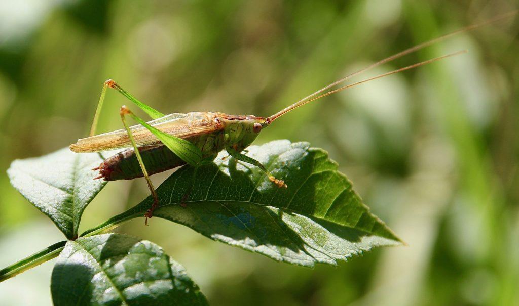 Conocéphale bigarré, mâle, sur feuille de frêne.