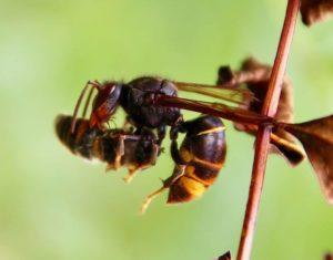 Frelon asiatique dévorant l'abdomen d'une mouche éristale capturée en vol.