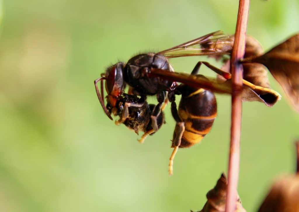 Frelon asiatique finissant de dévorer une mouche éristale capturée en vol.