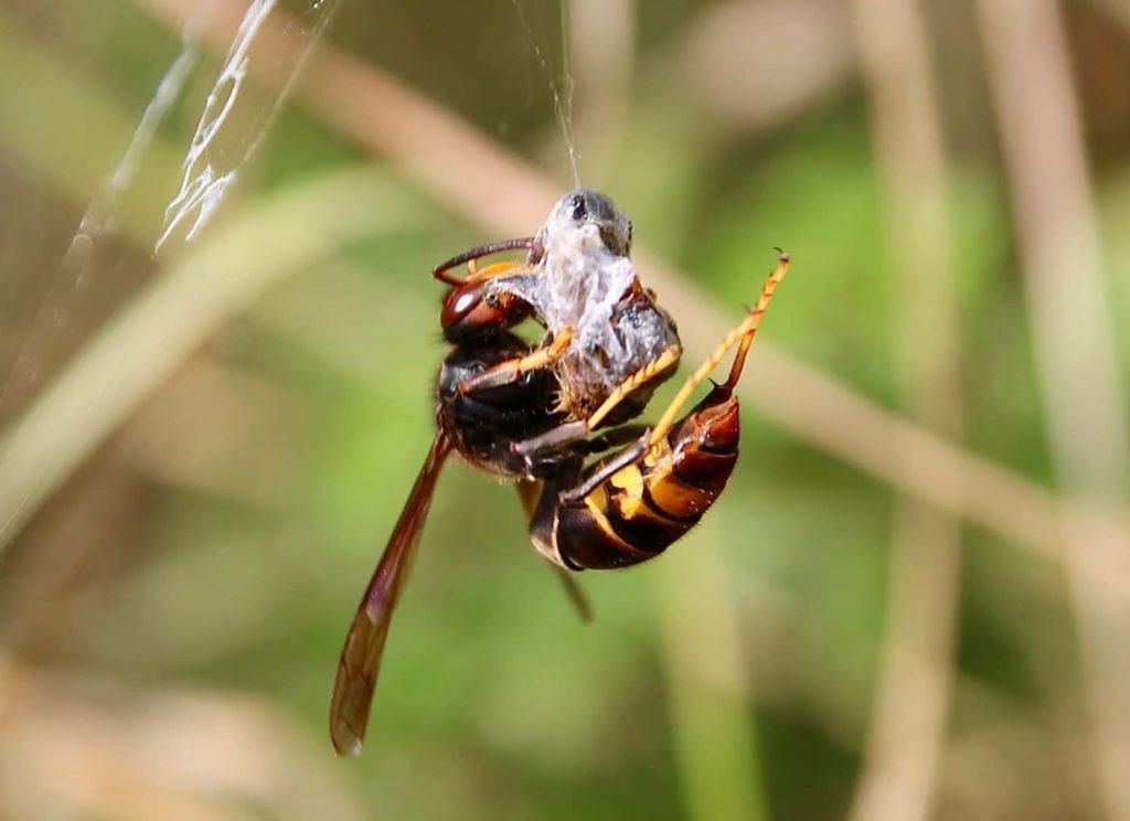 Frelon asiatique subtilisant une abeille prise dans une toile d'Epeire fasciée.