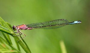 Libellules ert demoiselles : l'Agrion élégant, femelle immature.