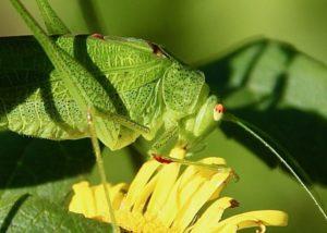 Phanéroptère méridional mâle.