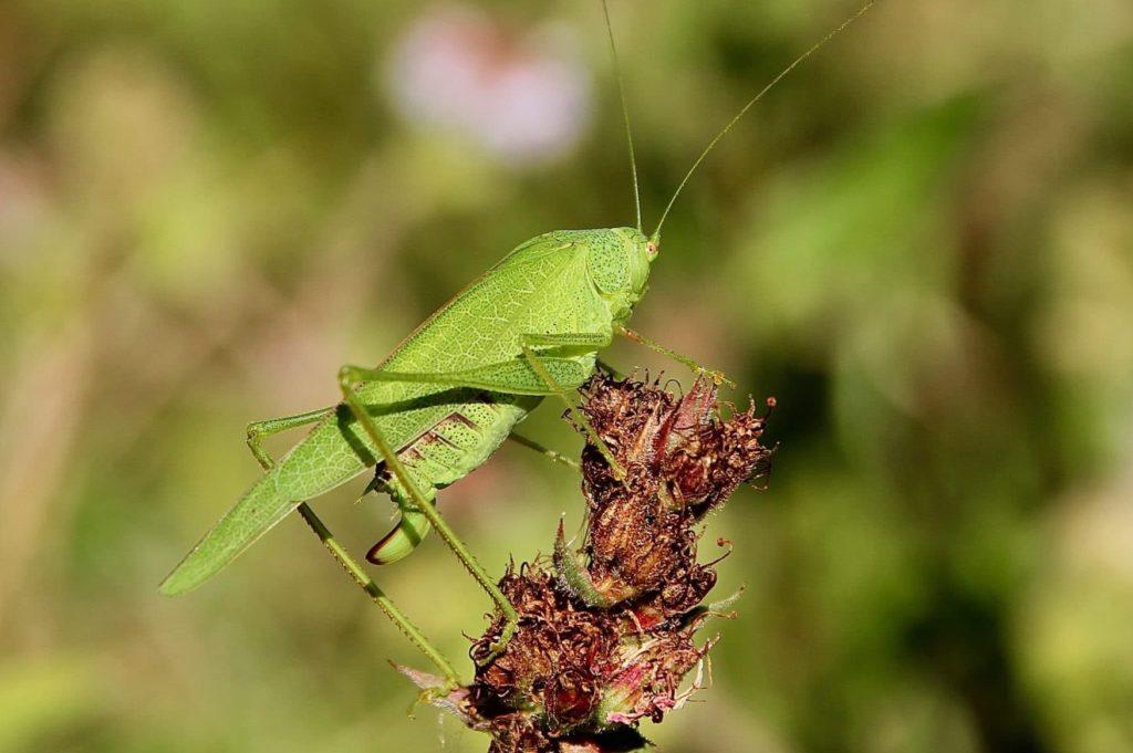 Phanéroptère méridional femelle.