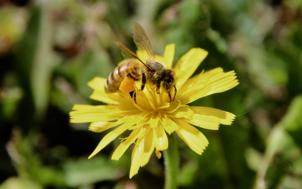 Abeille sur inflorescence de Crépide capillaire.