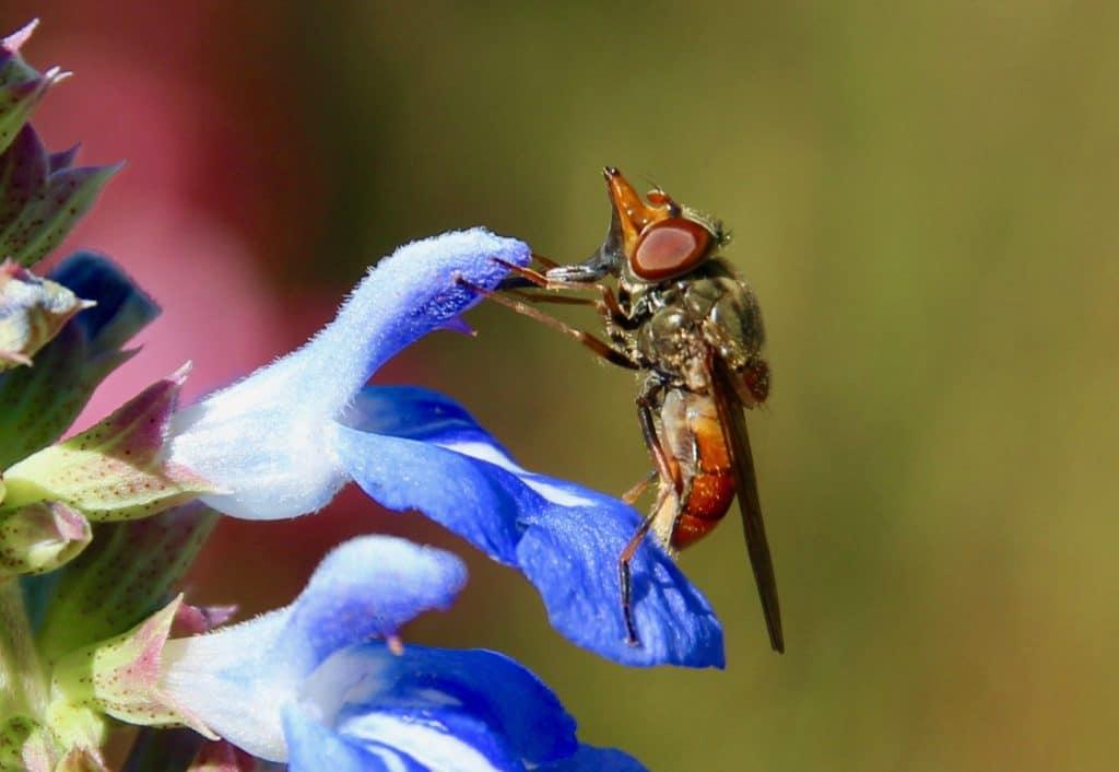 Rhingie champêtre sur fleur de sauge bleue.