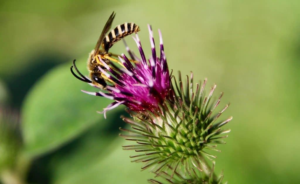 Inflorescence de la Bardane à petites fleurs.