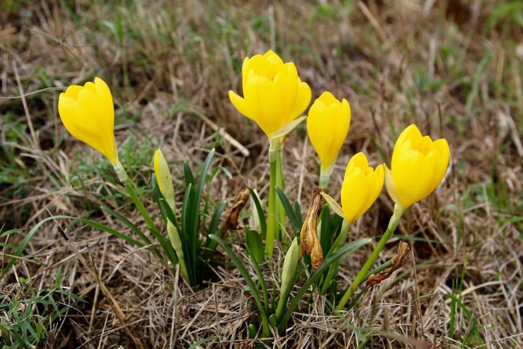 La Vendangeuse jaune (Sternbergia lutea)