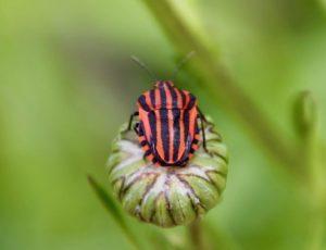 Graphosome italien (Graphosoma italicum), alias l'Arlequin.