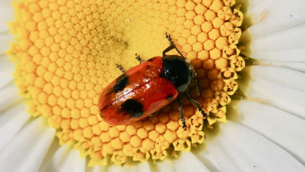 Clytre des saules : le feuillage des arbres mais aussi le pollen des marguerites.