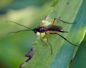 Exetastes calobatus, femelle.