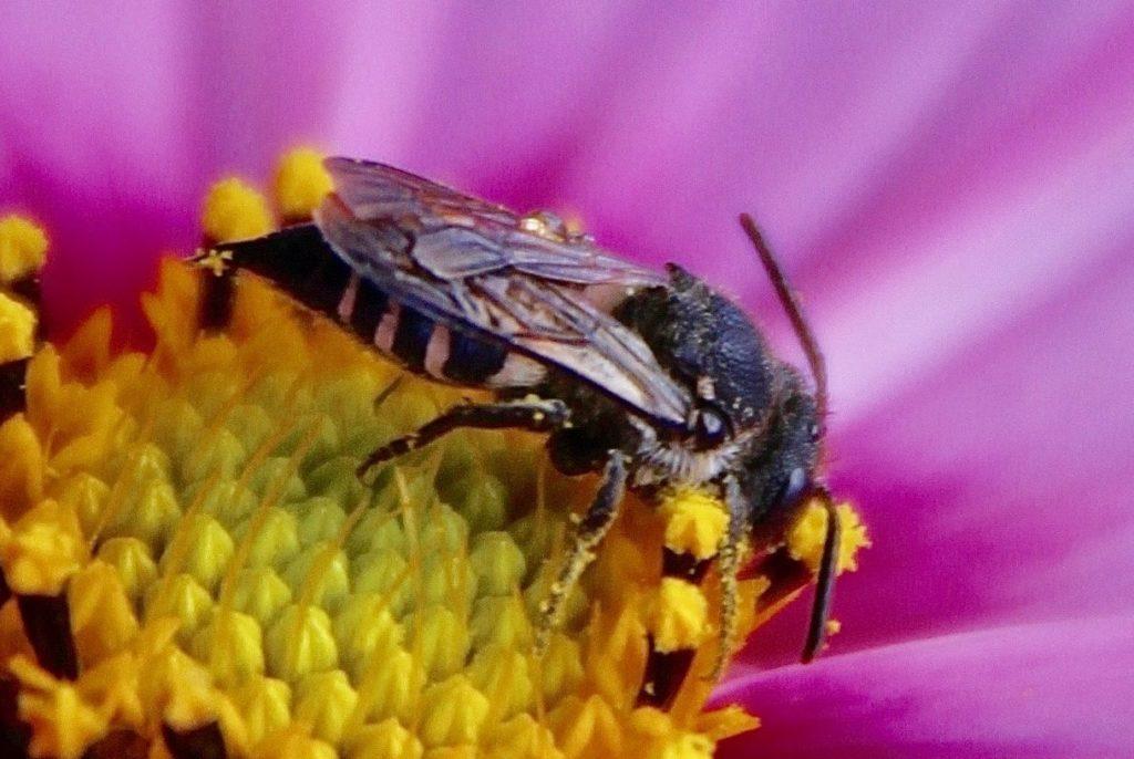 Coelioxys inermis sur fleur de cosmos.