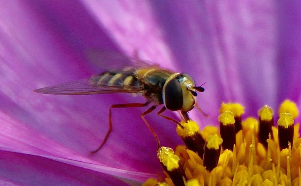 Le Syrphe des corolles, femelle, sur fleur de cosmos.
