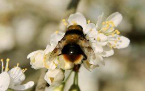Mallota fusiforme sur fleur de mirabellier.