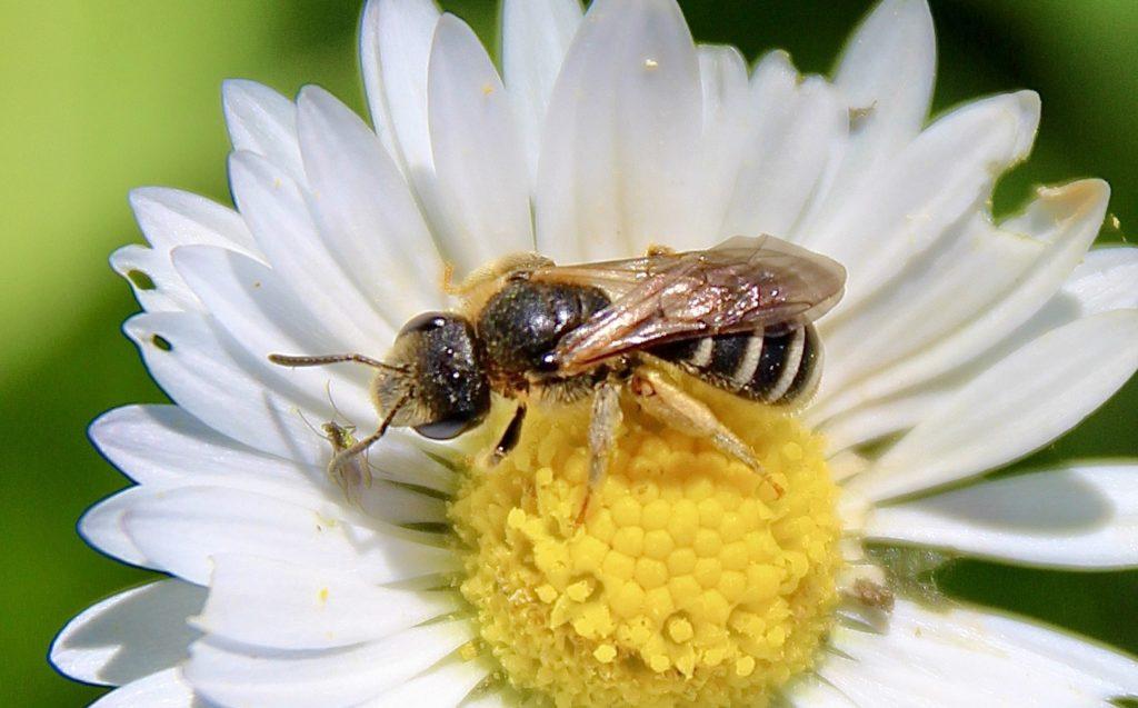 Andrène à pattes jaunes (Andrena flavipes)