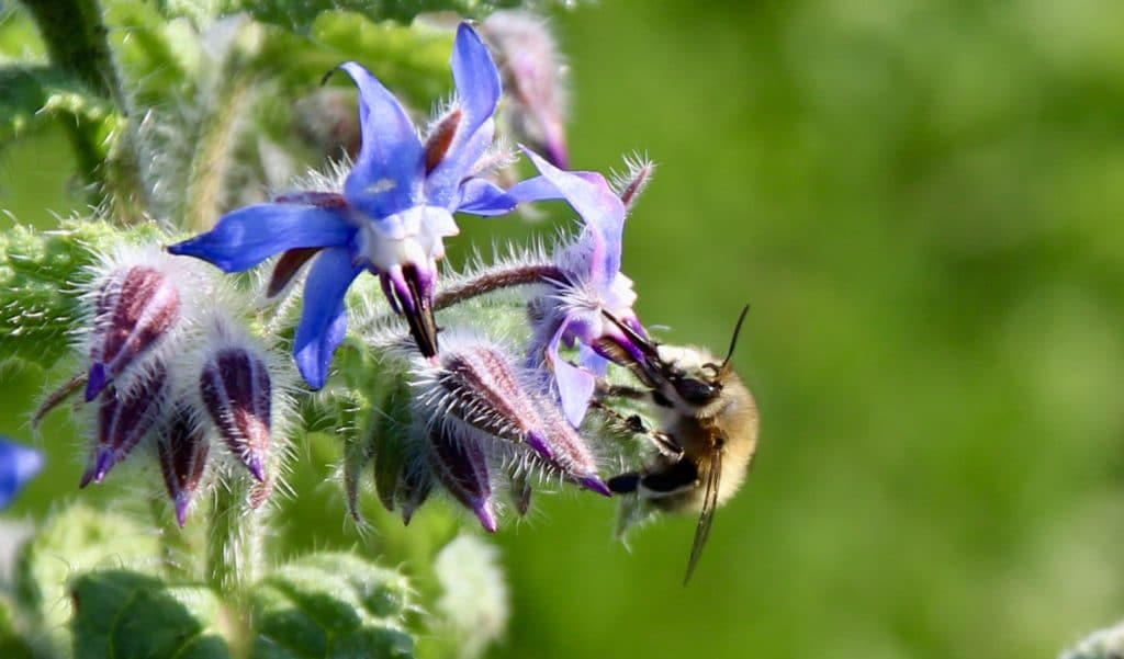 Bourrache en fleurs butinée par une Anthophore plumeuse (mâle).