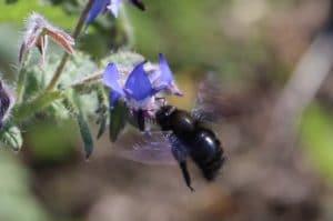 Bourrache en fleurs, abeille charpentière à l'approche.