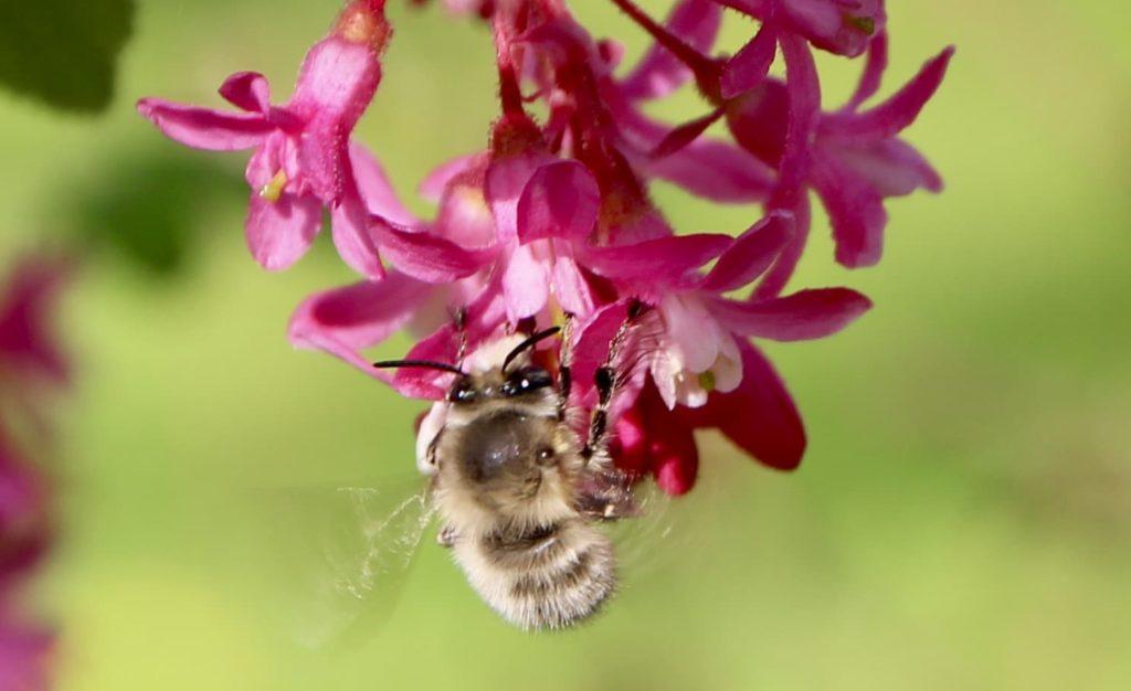 Cassis-fleur et Anthophore plumeuse..