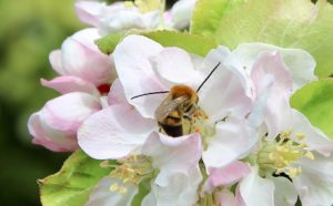 Eucère longicorne, mâle, sur fleur de pommier.