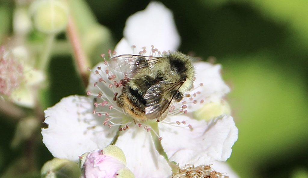 Anthophore fourchue sur fleur de ronce commune.