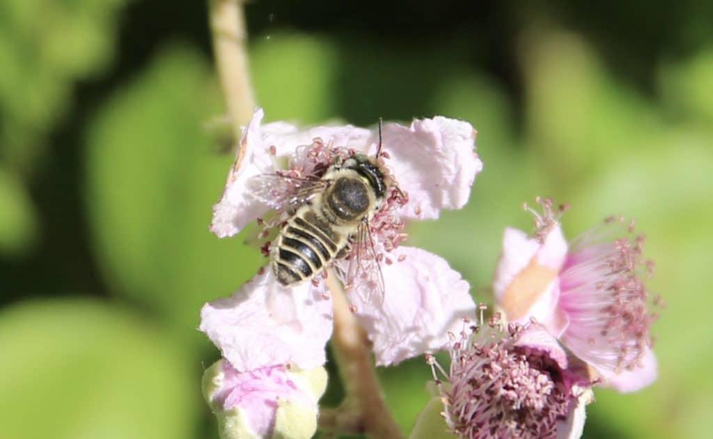 Mégachile à brosse blanche sur fleur de ronce commune.