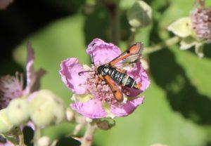 Sésie de l'oseille sur fleur de ronce commune.