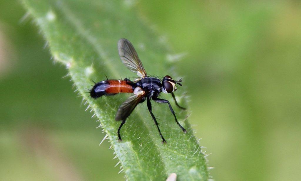 La mouche Cylindromyia brassicaria.