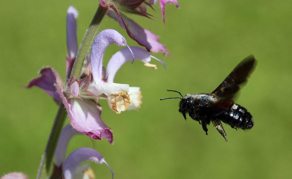 Sauge toute-bonne et abeille charpentière.