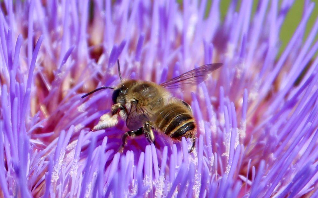 Mégachile poignets-laineux sur capitule d'artichaut en fleurs.