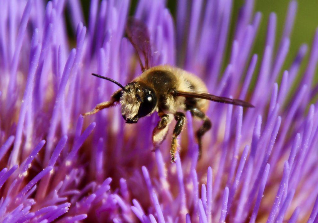 Mégachile poignets-laineux, mâle, sur capitule d'artichaut en fleurs.