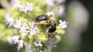 Andrène humble, femelle, sur origan en fleurs.