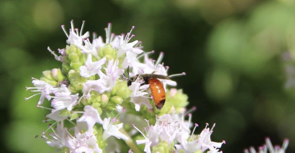 Sphécodes sp. sur origan en fleurs.