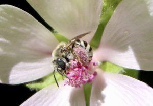 Amégille à joues blanches sur fleurs de Guimauve officinale.