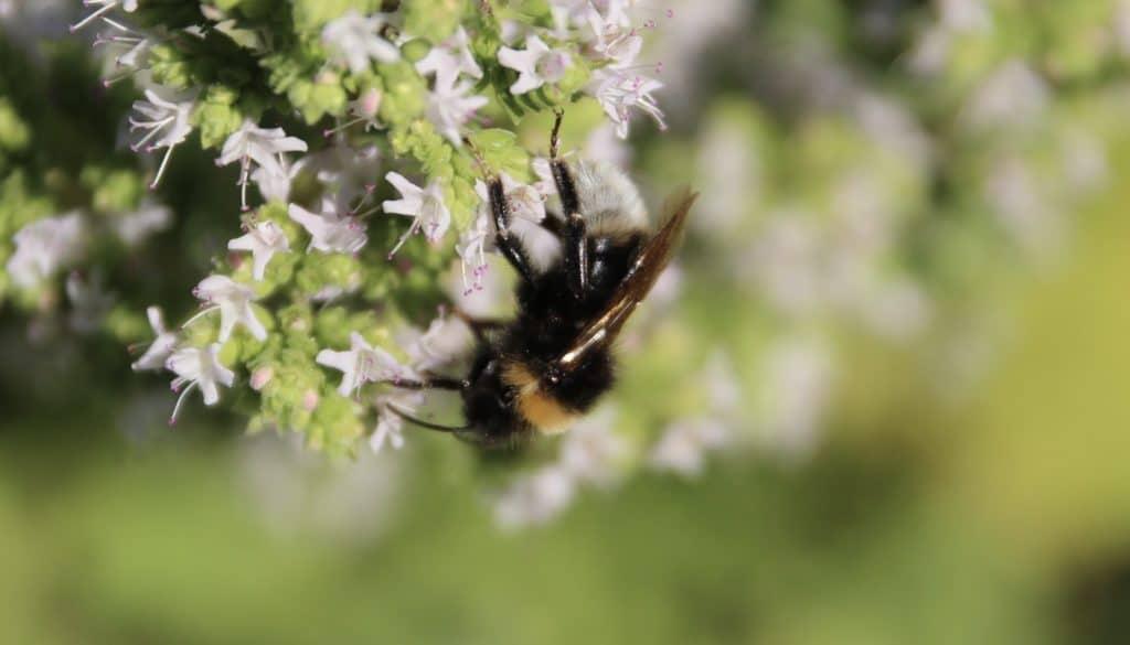 Bourdon vestale sur origan en fleurs.